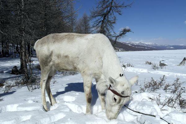Reindeer Mongolia