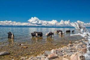 Yaks Mongolia