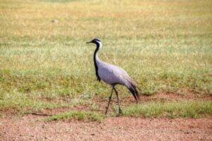 white-naped crane