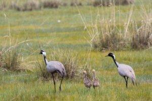 Family of white-naped crane