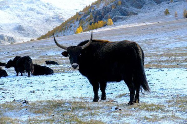 Mongolian Yak